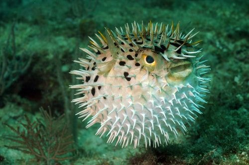 Pufferfish. Delicious. But eat it and you may become a zombie.  Or if you're lucky just die.