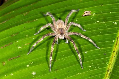 Brazilian Wandering Spider deadly to humans and they hang out in bananas