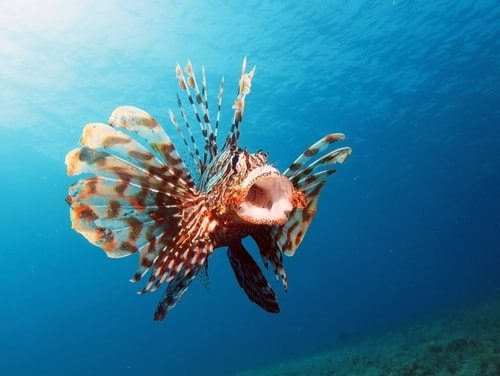 Lionfish super poisonous