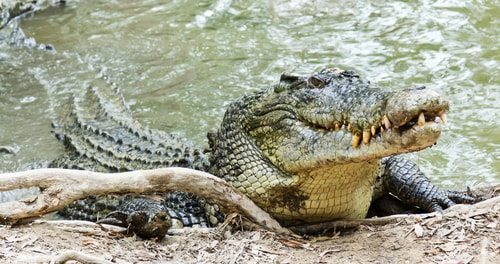 Saltwater Crocodile ridiculous strong and even meaner than it looks!`