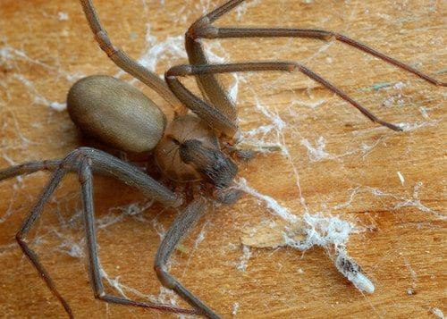 The Brown Recluse Spider is ridiculously poisonous.
