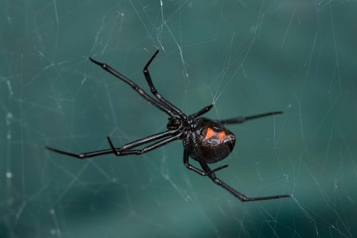 The horrifying and potentially deadly Black Widow Spider