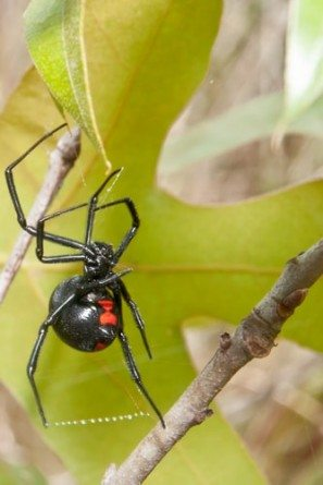 Top 10 Most Poisonous Spiders