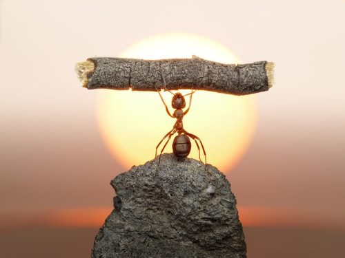 Ants are incredibly strong!