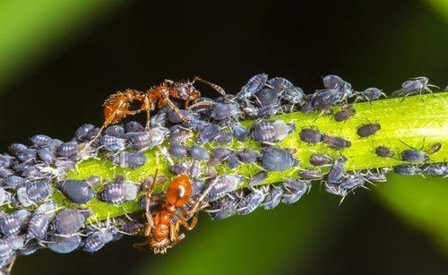 Ants herding aphids.