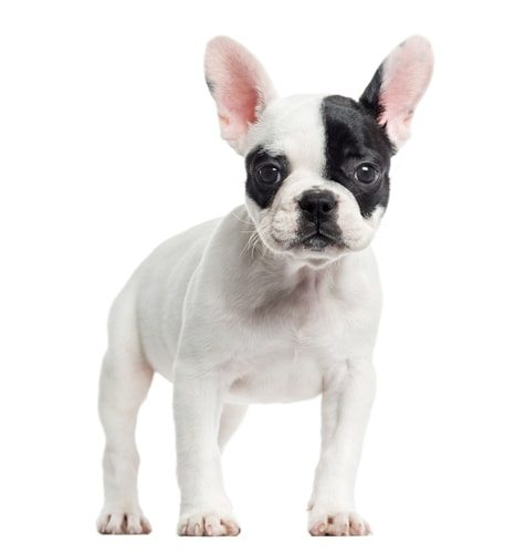 10 Things You Should Know Before Owning a French Bulldog