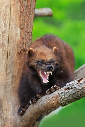 Everyone knows Wolverine is not a wolverine. He's a badger. A honey badger and he don't care.