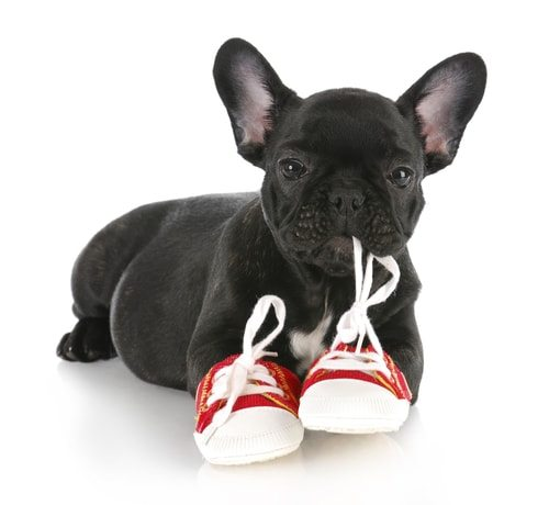 French bulldogs may enjoy chewing!