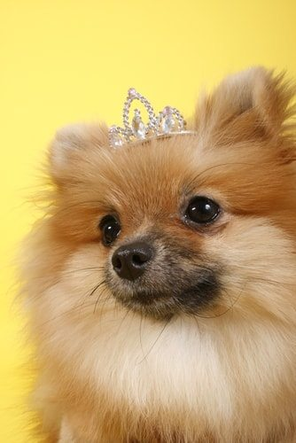 Pomeranians are real divas.