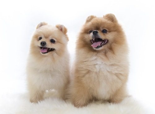 Pomeranians hate to be alone. Get two!