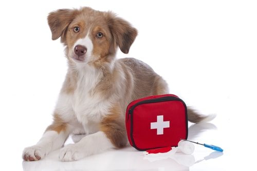Australian shepherd do have some known health issues.