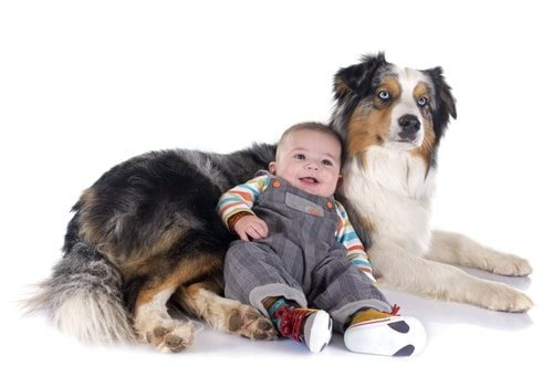 Australian shepherds can be very territorial. And protective.