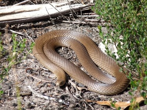 The Australian Brown Snake