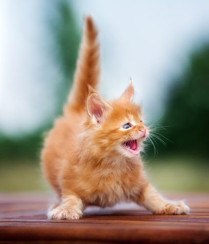 Your new kitten's reaction when your Australian shepherd gets home from the park.