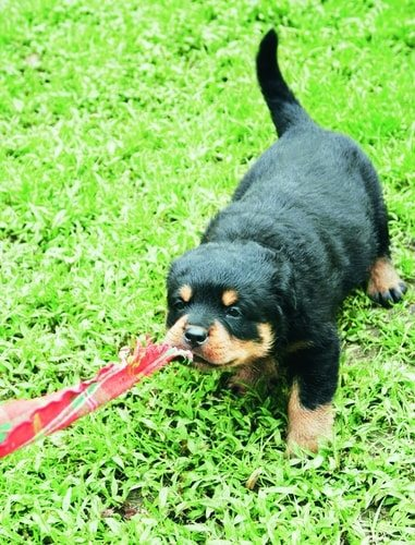 Rottweilers can be hard to train.