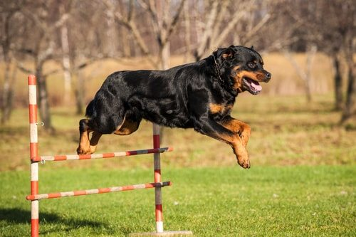 Rottweilers love to be active.