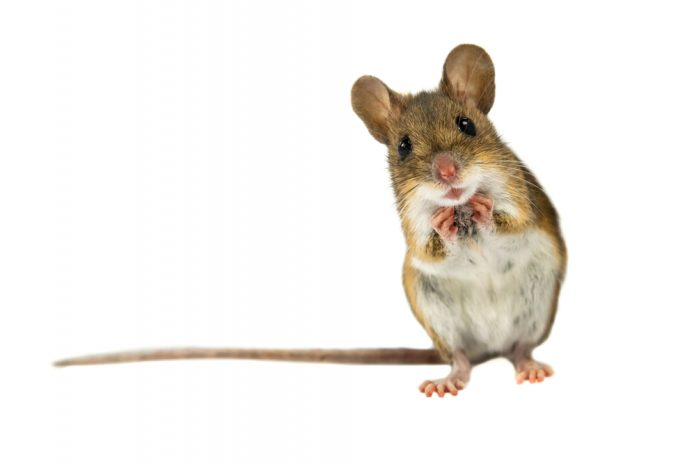 How to Get Rid of Mice in 10 Easy Steps