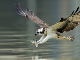 Osprey Spirit Animal