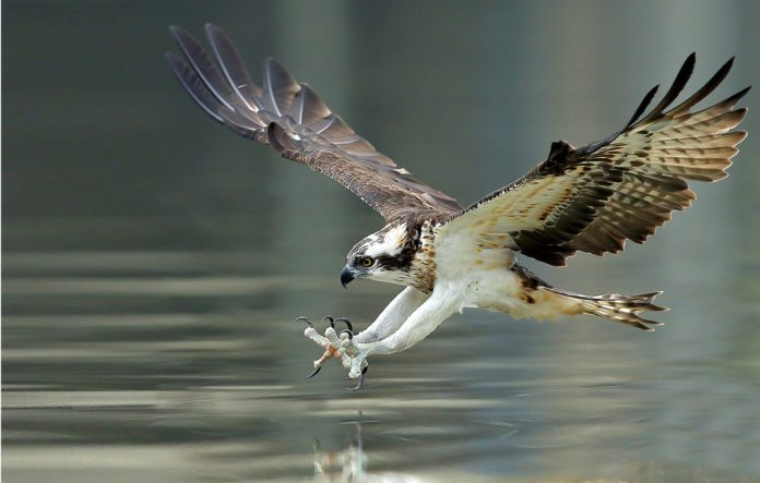 Osprey Spirit Animal