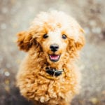 Poodles Are Considered Hypoallergenic