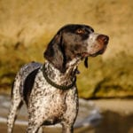 The German Shorthaired Pointer