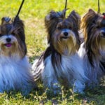 Yorkshire Terriers Are Prone